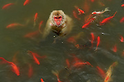 HEFEI, CHINA - CHINA OUT) <br /> <br /> Monkey swims with Fish<br /> <br /> A monkey swims in water surrounded by a school of fish to beat the heat at Hefei Wildlife Zoo  in Hefei, Anhui Province of China. <br /> ©exclusivepix