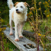 Dolly the Parsons Jack Russell