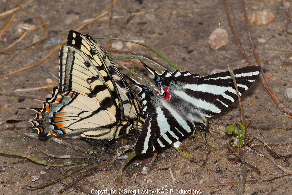 """Eastern Tiger Swallowtail.Papilio glaucus (2 on left).with.Zebra Swallowtail.Eurytides marcellus (right).""""puddling"""" at edge of pond.Boykin Springs.Angelina National Forest.Angelina Co., Texas.24 March 2010"""