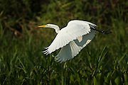 Great Egret (Ardea alba)<br /> Northern Pantanal<br /> Mato Grosso<br /> Brazil