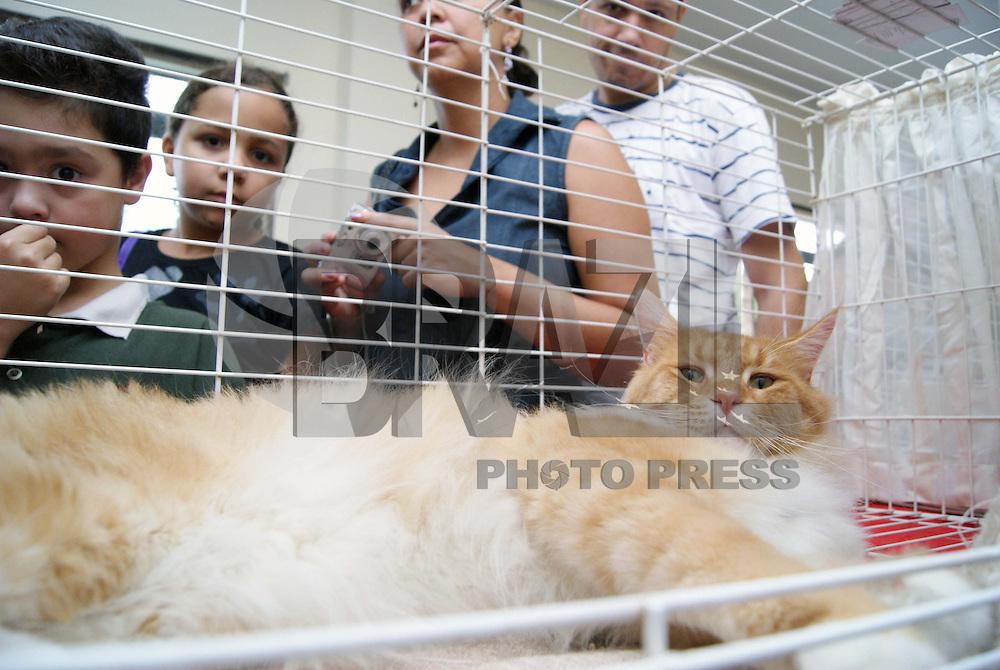 """SÃO PAULO, SP, 30 DE JANEIRO DE 2010 - GATOS GIGANTES EM EXPOSIÇÃO - Gatos da raça Maine Coon, que são chamados pelos criadores de """"gigantes gentis"""", estão expostos neste fim de semana em um evento no bairro do Tatuapé na região leste da capital paulista, são 10 gatos, entre machos, fêmeas e filhotes, os gatos de origem americana podem chegar ao triplo do tamanho dos gatos comuns, alcançando mais de um metro e o peso pode superar 10 kg. Apesar do tamanho a raça é bem dócil. Evento atraí grande público, causando filas e estacionamento lotado, o evento começou 11 horas do sábado e às 15 horas 2 mil pessoas já haviam visitado os felinos. (FOTO: WILLIAM VOLCOV / BRAZIL PHOTO PRESS."""