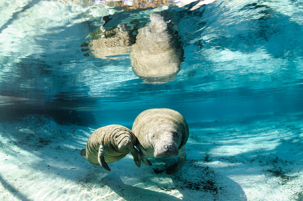 Florida manatee, Trichechus manatus latirostris, a subspecies of the West Indian manatee, endangered. A mother manatee swims with her calf midday near a large freshwater springhead. The pair is facing forward, looking at the viewer and the reflection is on the surface. Horizontal orientation with blue and aqua mixed waters. Three Sisters Springs, Crystal River National Wildlife Refuge, Kings Bay, Crystal River, Citrus County, Florida USA.