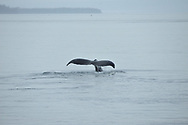 A humpback whale raises its tail above the surface of the water before diving near Petersburg, Alaska.
