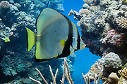 Pinnate batfish or spade fish (platax pinnatus)- Agincourt Reef, Great Barrier Reef, Queensland, Australia
