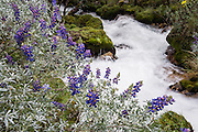 See lupine flowers beside a crashing stream on the hike to Lake 69 in the Cordillera Blanca, Andes Mountains, Peru, South America. Lupinus (common name lupin or lupine) is a genus in the pea family (also called the legume, bean, or pulse family, Latin name Fabaceae or Leguminosae). As a day trip by car and foot from Huaraz, hike to Lake 69 (4600 meters elevation, 8 miles round trip with 800 meters gain).