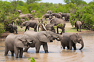 Group of elephants (Loxodonta africana) in the water in Kruger National Park, South Africa.  http://www.gettyimages.com/detail/photo/group-of-elephants-drinking-water-south-high-res-stock-photography/92063833