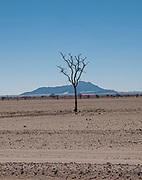 Lone dry tree in the  Namib desert plains Brandberg Mountain, Damaraland, Namibia