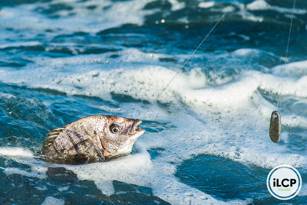 A Blacktail fish is pulled to shore after being caught on line and sinker. Goukamma Marine Protected Area. Western Cape. South Africa
