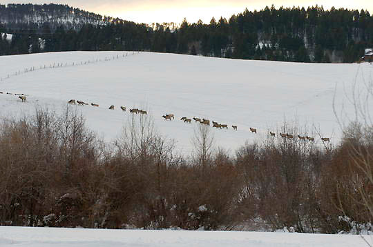 Elk (Cervus canadensis) Herd crossing snow filled hillside in residental area outside Bozeman, Montana in search of food. Winter.