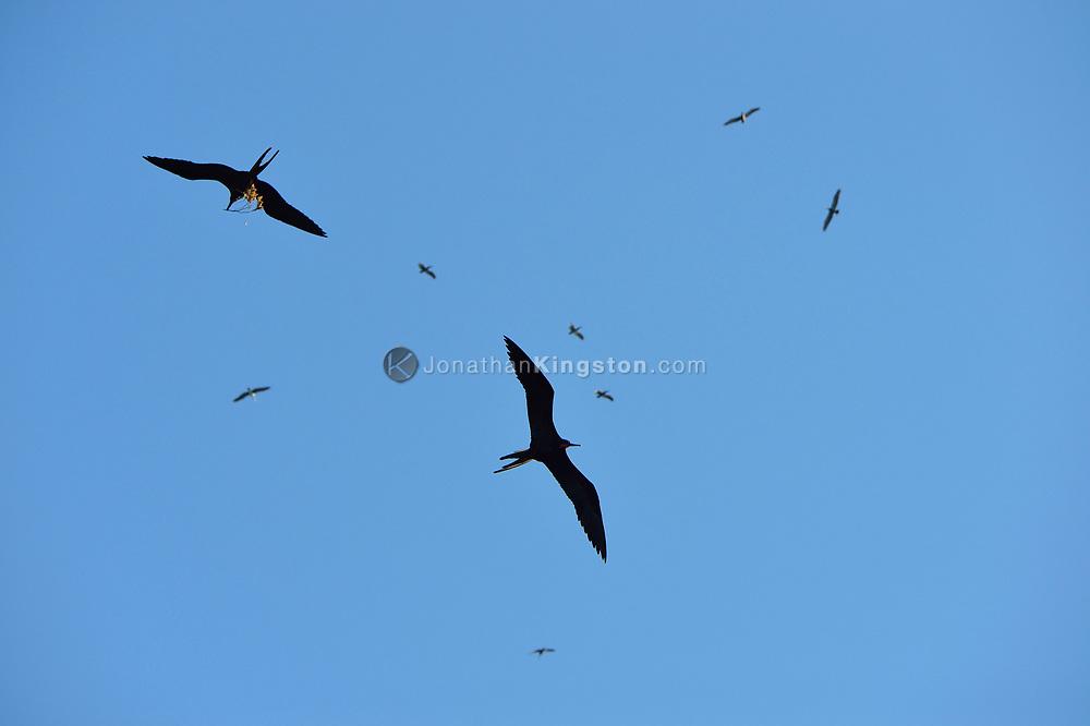 Magnificent Frigatebirds (Fregata magnificens) catch thermals above Bona Island, off the pacific coast of Panama.