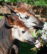 """Meghan, an Okapi at ZSL London Zoo eats her wedding bouquet floral treat to celebrate the forthcoming Royal Wedding.<br /> Attend ZSL London Zoo, Regent's Park, London, Great Britain <br /> 14th May 2018<br /> <br /> Meghan the Okapi <br /> With her mother Oni <br /> <br />  <br /> Keepers at ZSL London Zoo  give Meghan the okapi a royal treat to celebrate the forthcoming Royal Wedding – a bouquet of edible flowers to rival her namesake's, Meghan Markle. <br />  <br /> The five-month-old was named after Meghan to commemorate the Royal couple's engagement.<br /> <br /> ZSL London Zoo okapi keeper Gemma Metcalf said: """"A bouquet of tasty edible lilac flowers is the perfect wedding inspired treat for Meghan - we didn't want her to miss out on the big day, as she's named after the royal bride.<br />  <br /> """"She'll use her dextrous elongated tongue to tug the pretty petals off the bouquet in a matter of moments – just like how okapis tug vegetation and flowers off trees and bushes to eat in the wild.""""<br />  <br /> Meghan's name is particularly fitting, as the endangered okapi was coincidentally first brought to the world's attention in 1901 by another Harry - ZSL fellow Sir Harry Johnstone.<br />  <br /> Photograph by Elliott Franks"""