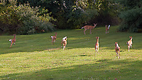 Seven Fawns Running and the Den Mother Doe in My Backyard. Summer Nature in New Jersey. Image taken with a Nikon D700 and 28-300 mm VR lens (ISO 220, 72 mm, f/5.6, 1/125 sec).