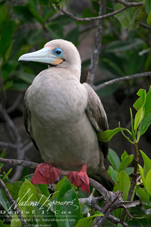 Red-footed booby (Sula sula) perched on a branch. Galapagos