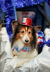 31 January 2016. New Orleans, Louisiana.<br /> Mardi Gras Dog Parade. A miniature Collie at the Mystic Krewe of Barkus as the parade winds its way around the French Quarter with dogs and their owners dressed up for this year's theme, 'From the Doghouse to the Whitehouse.' <br /> Photo©; Charlie Varley/varleypix.com