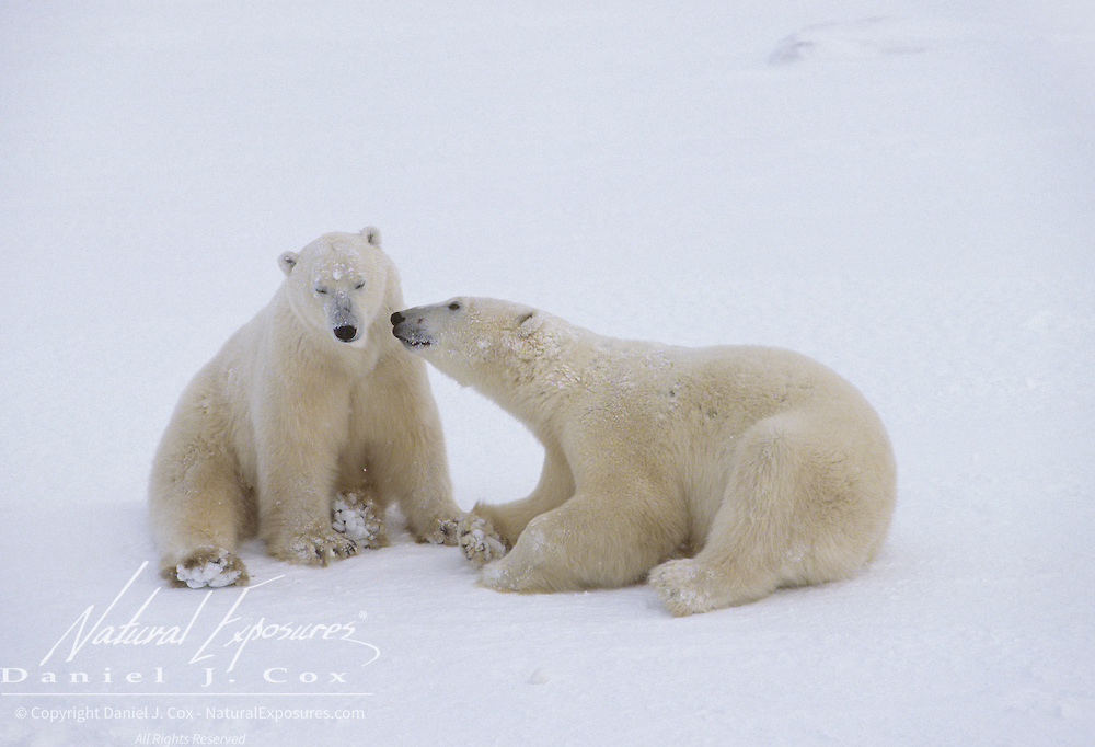 Polar Bear pair of sub adults waiting for the ice to freeze on Hudson Bay. Canada