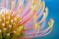 Leucospermum cordifolium or pincushion flower detail, Heuningberg Nature Reserve, Bredasdorp, Western Cape, South Africa