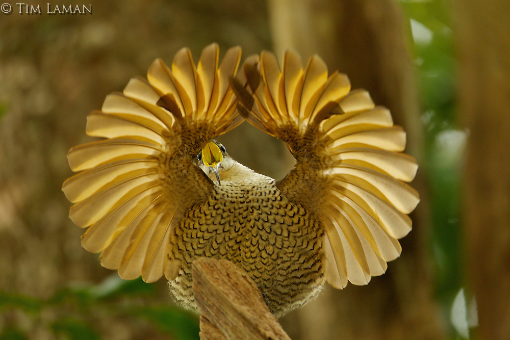 Paradise Riflebird (Ptiloris paradiseus).Young male performing practice display