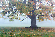 Soft morning mist envelops a lone autumn tree, New York, USA.