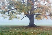 Soft morning mist envelops a lone autumn tree, New York, USA.
