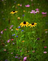 Black-eyed Susan Flower. Image taken with a Nikon D850 camera and 105 mm f/2.8 VR macro lens