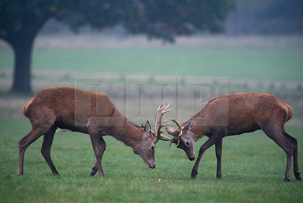 © Under license to London News pictures...  .LONDON - OCTOBER 8th 2010: Two Red Deer stags rutting in Richmond Park this morning (Fri).  Autumn sees the start of the 'Rutting' season where the large Red Deer stags can be heard roaring and barking in an attempt to attract females. The males can be seen clashing antlers with rival males.
