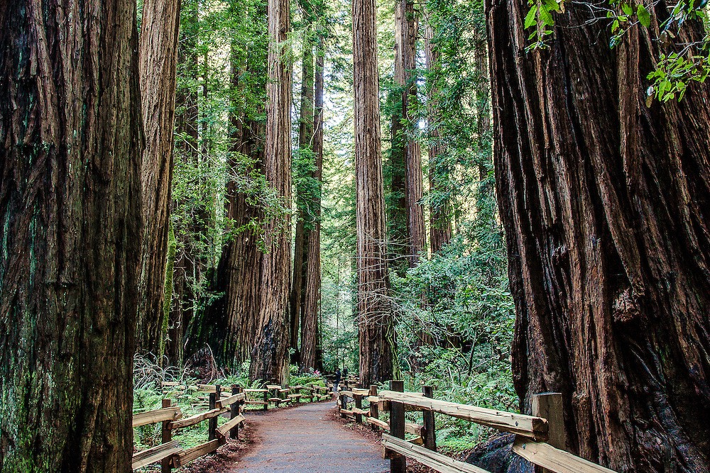 Amongst the Giants, Muir Woods, California