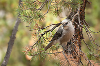 We stopped for lunch at a picnic site on the South Rim trail and were almost immediately spotted by several of these curious Jays.  They definitely have no fear of people...<br />