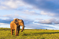 An African Elephant bull pauses from feeding in vast open grasslands, Addo Elephant National Park, Eastern Cape, South Africa