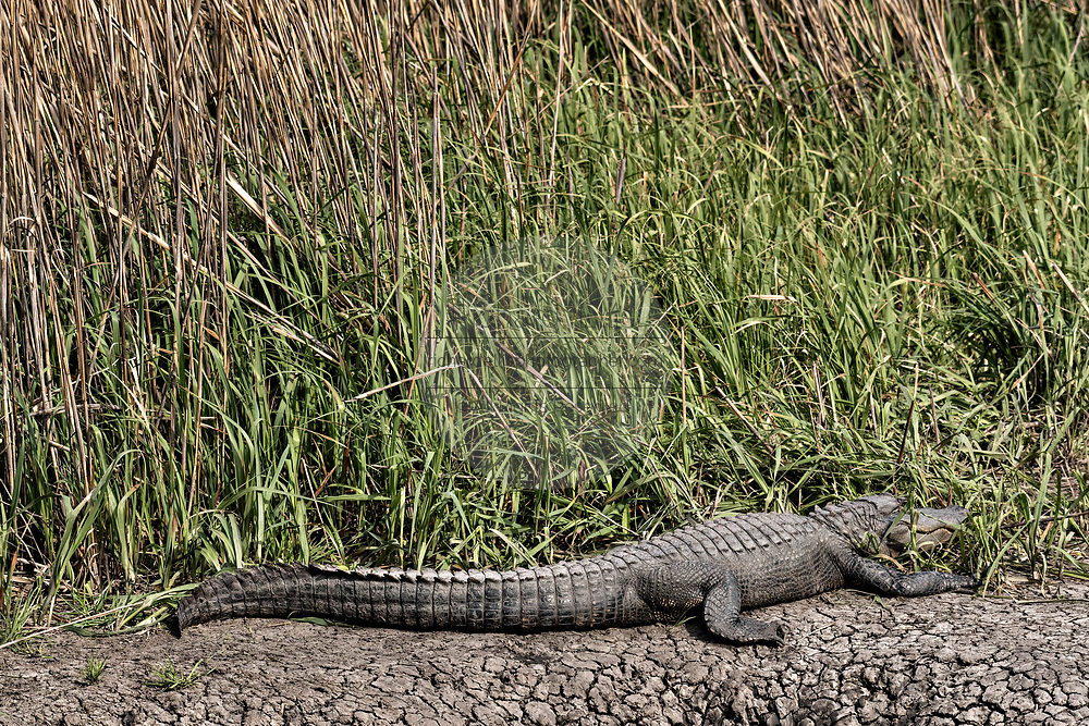 A large American alligator basks on the edge of the marsh grass at the Donnelley Wildlife Management Area March 11, 2017 in Green Pond, South Carolina. The preserve is part of the larger ACE Basin nature refugee, one of the largest undeveloped estuaries along the Atlantic Coast of the United States.