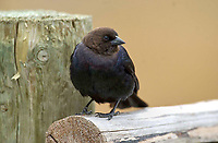 Brown-headed Cowbird (Molothrus ater) perched on a fence, Canmore, Alberta, Canada   Photo: Peter Llewellyn
