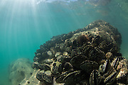 Green Lipped Mussels and sunrays along the coast of Abel Tasman National Park, New Zealand.
