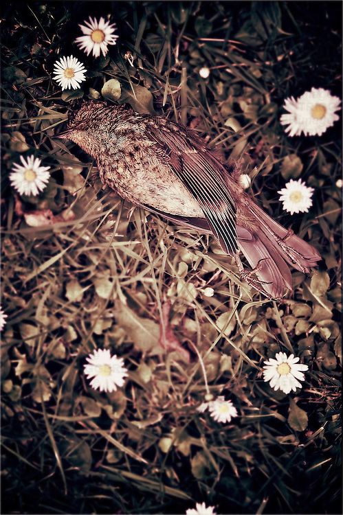 A small dead bird on grass next to daisies on a summer lawn