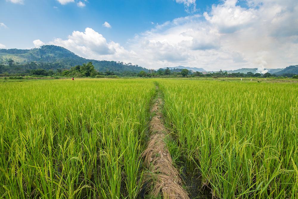 A foot path cuts through an African rice (Oryza glaberrima) field, Gbedin village, Nimba County , Liberia