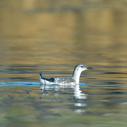 Common Loon (Gavia immer), Castine, Maine, US