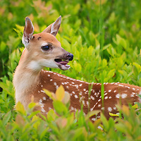 A young white-tailed deer fawn (Odocoileus virginianus) bleats to its mother, Big Meadows, Shenandoah National Park, Virginia.