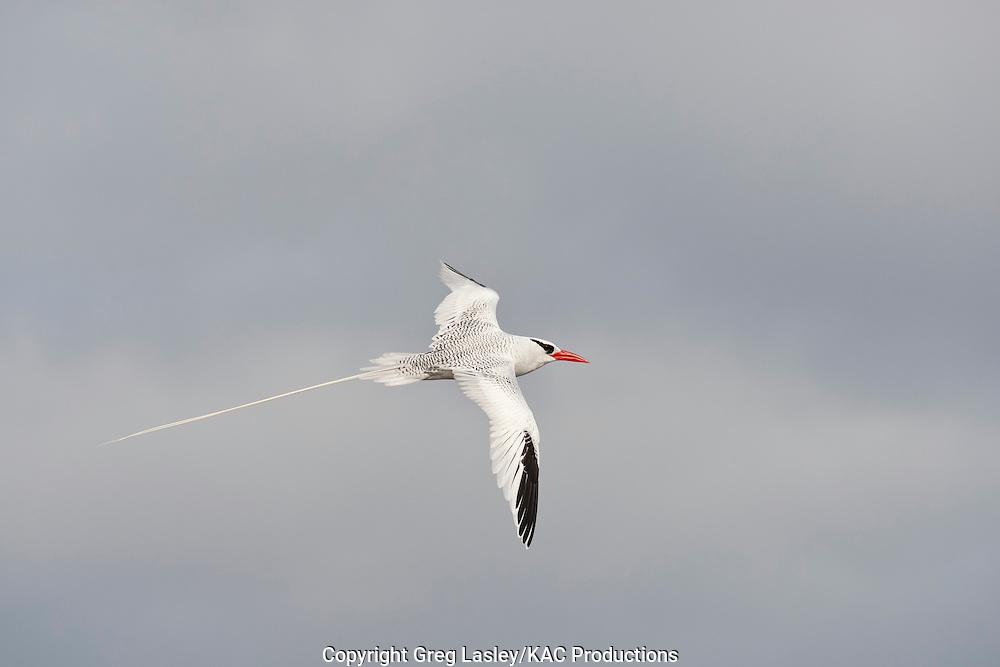 Red-billed Tropicbird<br /> Phaethon aethereus<br /> adult - in flight<br /> Darwin Bay<br /> Genovesa Island<br /> AKA Tower Island<br /> Galapagos Islands<br /> Ecuador<br /> 23 August 2010