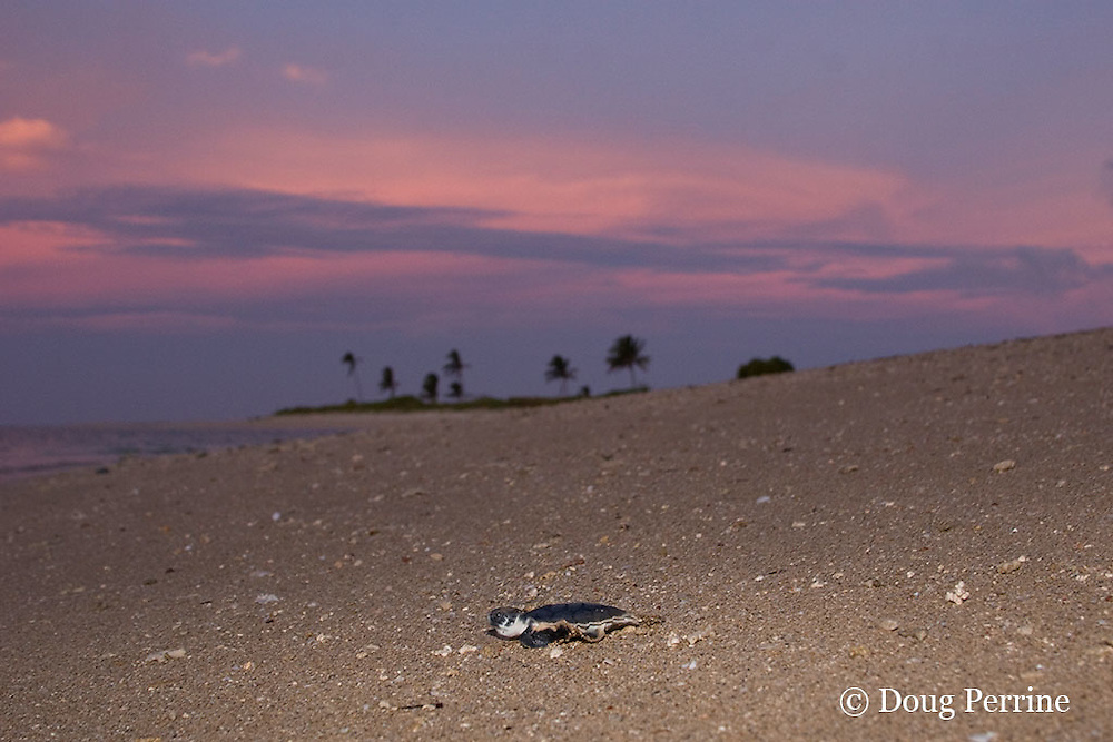 Australian flatback sea turtle hatchling crawls down nesting beach to ocean at sunset, Natator depressus, Torres Strait, Queensland, Australia