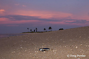 Australian flatback sea turtle hatchling crawls down nesting beach to ocean at sunset, Natator depressus, Torres Strait, Queensland, Australia
