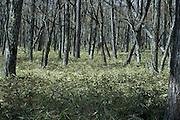 treetrunks in woods with dense Kumazasa undergrowth Japan
