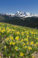Mount Shuksan with meadows of Glacier Lillies (Erythronium grandiflorum) on Skyline Divide, Mount Baker Wilderness Washington
