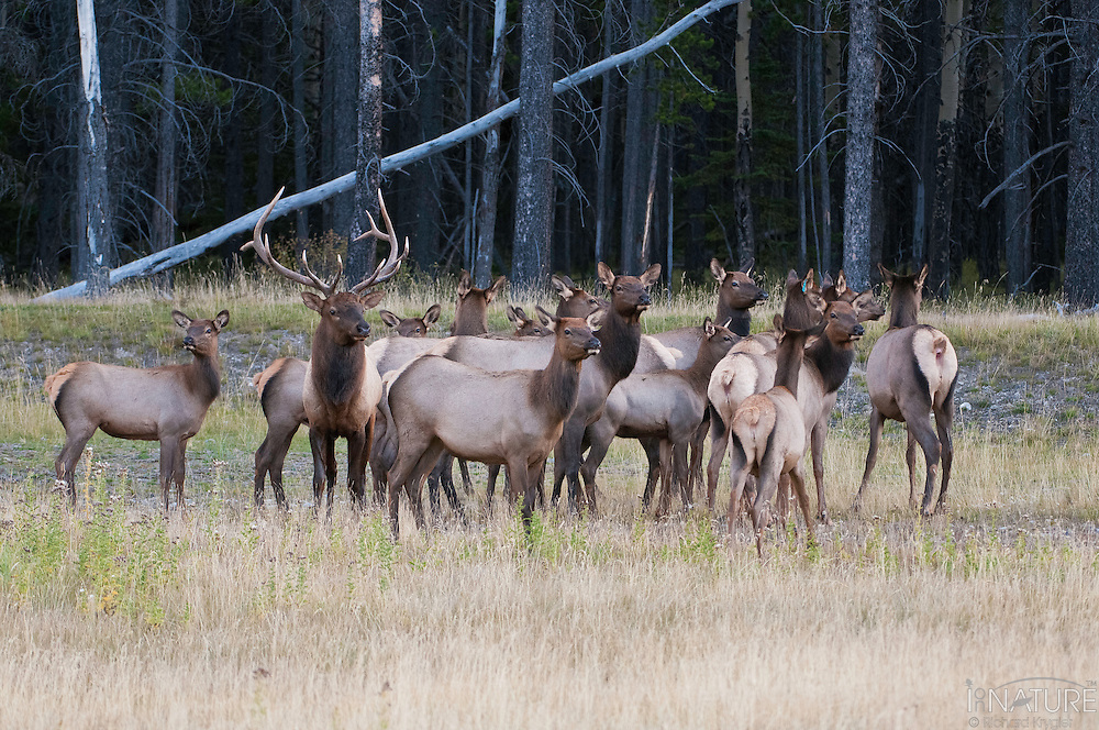 Bull elk with his harem.