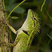 Forest Crested Lizard, Calotes emma.
