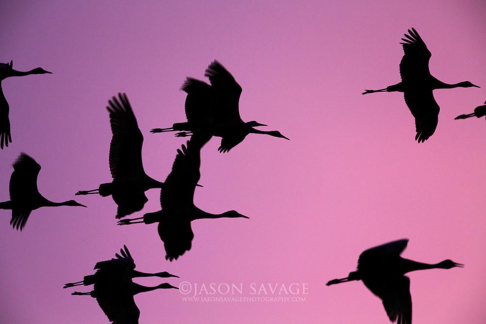 Sandhill Cranes, Montana.