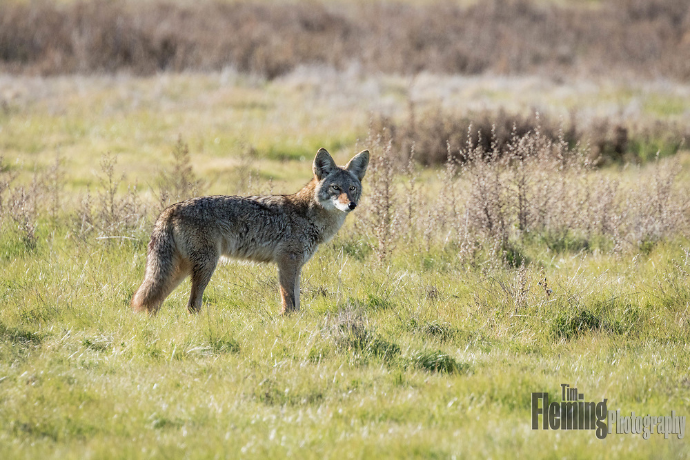Prior to the near extermination of wolves and cougars, the coyote (Canis latrans ) was most numerous in grasslands inhabited by bison, antelope, elk, and other deer. Seen here at Ellis Creek Water Recycling facility in Petaluma, California.