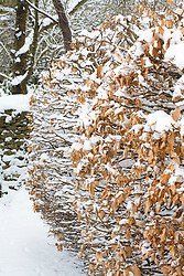 Beech hedge in snow. Fagus