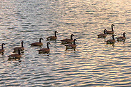 Ducks going for a swim in the golden glow of the morning sun