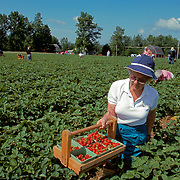 "Picking tomatoes on a ""pick your own"" farm in Maine"