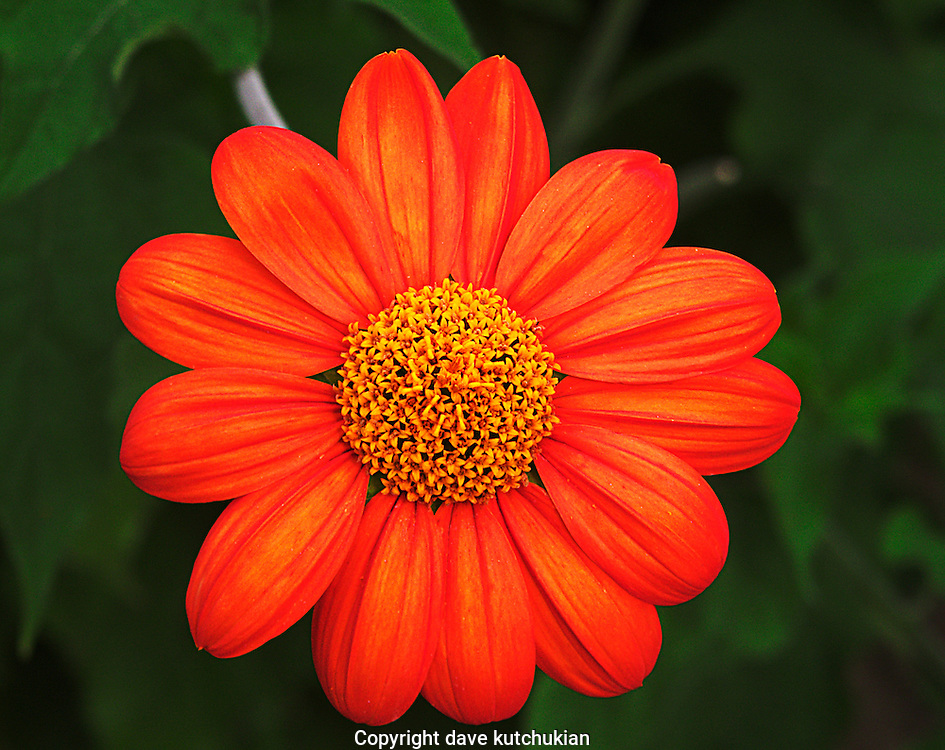 bright orange daisy in summer