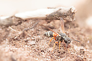 Purbeck mason wasp (Pseudepipona herrichii) excavating nest burrow. Dorset, UK.