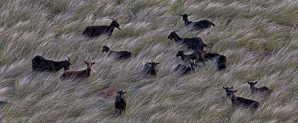 Goats in the grass, Hawaii